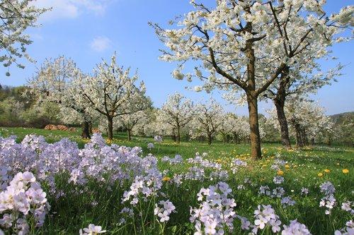 cherry blossom  smock  franconian switzerland
