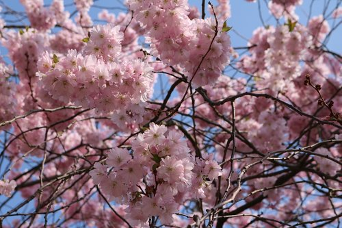cherry blossom  landscape format  pink