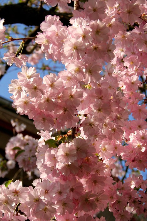 cherry blossom  blossom  bloom