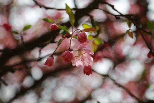 cherry blossom  cherry tree  cherry flowers