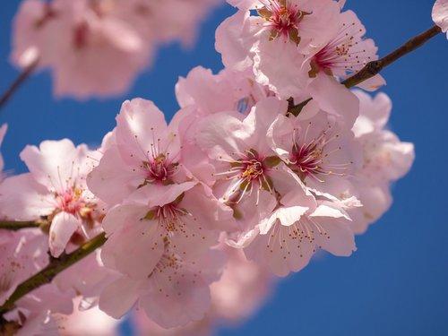 cherry blossom  flowering twig  spring