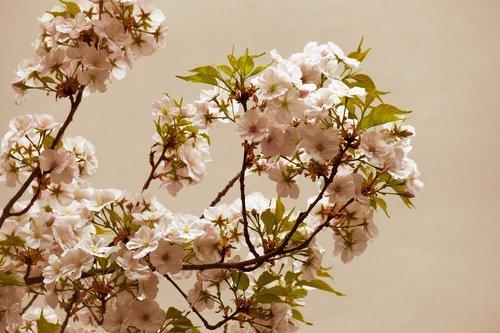 cherry blossom  cherry  flowers