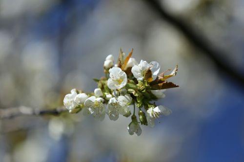 cherry blossom spring garden