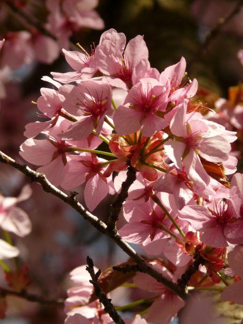 cherry blossom blossom bloom