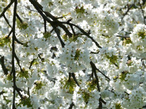 vyšnių žiedas,vyšnia,žiedas,žydėti,balta,pavasaris,baltas žiedas,medis