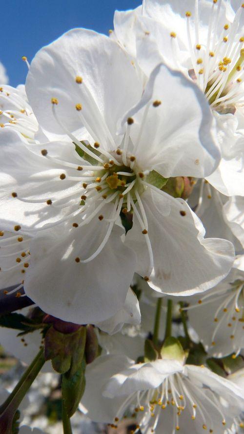 vyšnių žiedas,balta,baltas žiedas,pavasaris,žiedas,žydėti,gamta,žydėti,vyšnia
