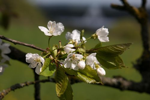 cherry blossom radio telescope effelsberg