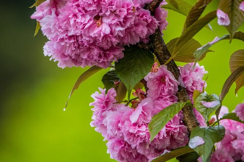 cherry blossom in the rain  cherry blossom  cherry