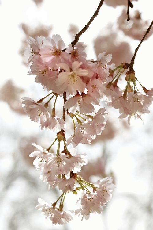 cherry blossom time kirch blossoms spring