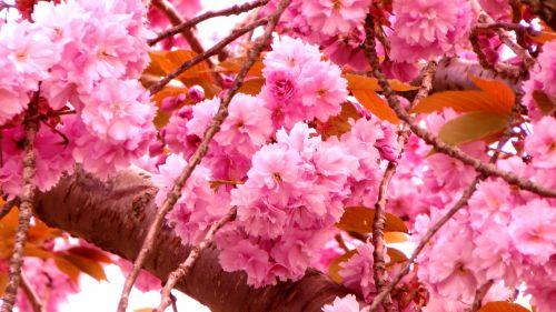 gėlė, gėlės, rožė, rožės, flora, augti, auga, sodas, sodai, krūmas, krūmai, sodininkystė, sodininkystė, žalias, augalas, augalai, botanikos, botanikos, vyšnių žiedų medis