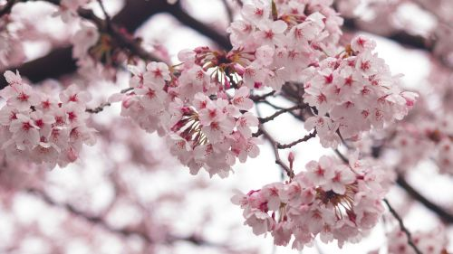 cherry blossoms,beautiful,pink,spring,beautiful port