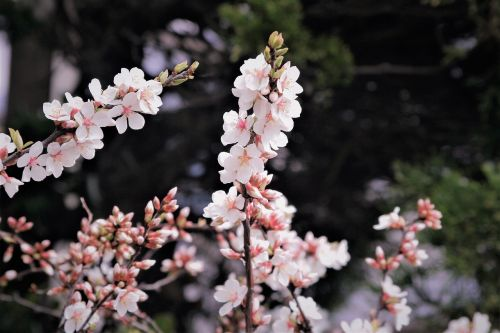cherry blossoms pale pink pale