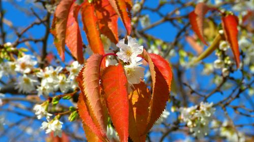 cherry blossoms november autumn