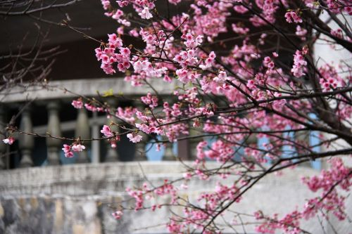 cherry blossoms fei cold cherry pink