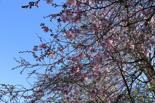 cherry blossoms flowers tree