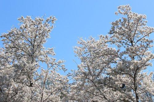 cherry blossoms  washington  d