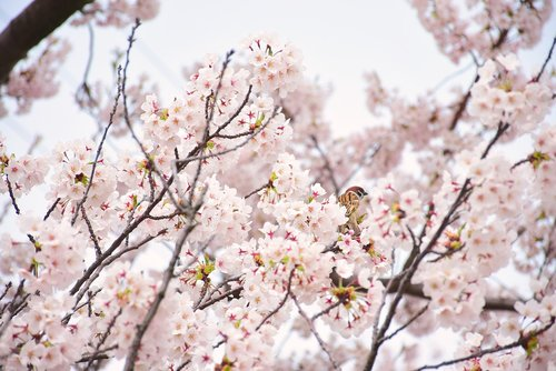 cherry blossoms  sparrow  in full bloom