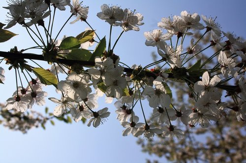 cherry blossoms  sky  blue