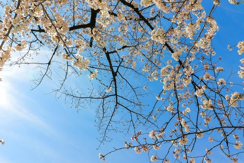 cherry blossoms  flowers  cherry tree