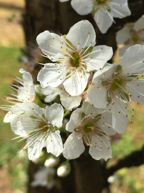 cherry blossoms  cherry  blossoms