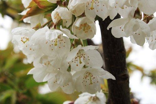 cherry blossoms  spring  cherry blossom