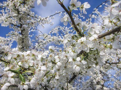cherry blossoms flowers flower