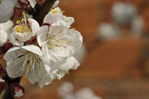 cherry blossoms apricot blossoms white flowers