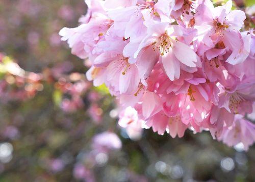 cherry blossoms blossoms spring