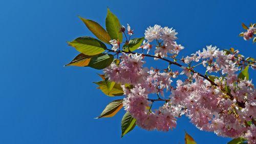 japanese cherry trees cherry branch spring