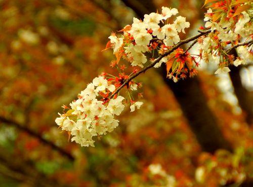 cherry distracting sakura japan