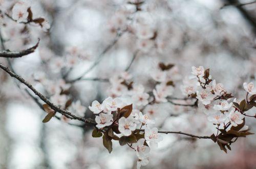 cherry flowers spring cherry blossom