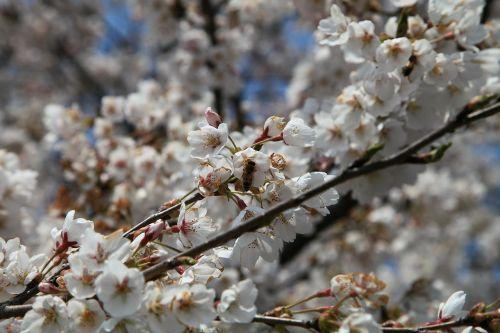 cherry flowers spring flowers april