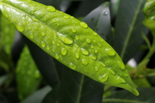 cherry laurel raindrop green
