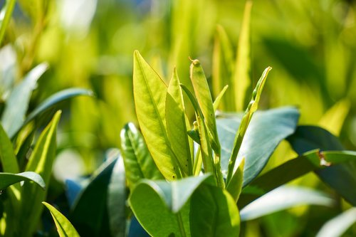 cherry laurel  green  leaf