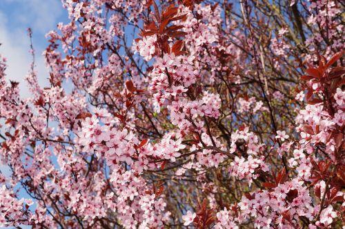cherry plum cherry blossom prunus cerasifera
