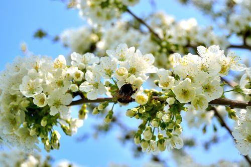 cherry tree cherry blossom blossoms