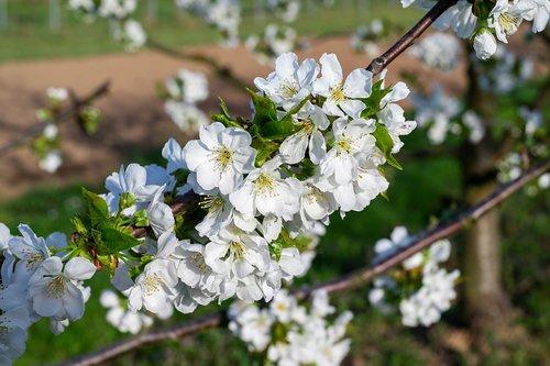 vyšnių medžiai, žydi, Kaiserstuhl, pavasaris, vaismedžių, medis, žiedas, žydi, vyšnių žiedas, baltos spalvos, baltas žiedas, gėlės, filialai, blütenmeer, saulė