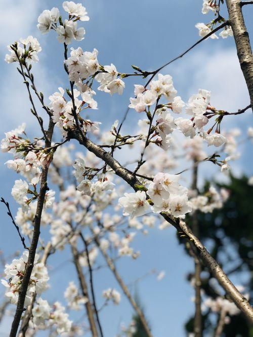 cherry wood tree branch