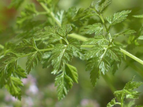 chervil herb kitchen herb