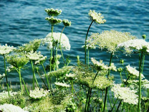 chervil grassland plants flowers