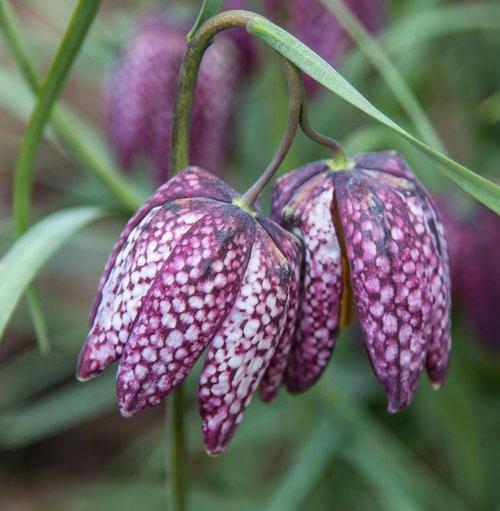 chess flower  purple  flower