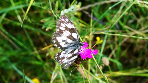 chessboard butterfly insect nature