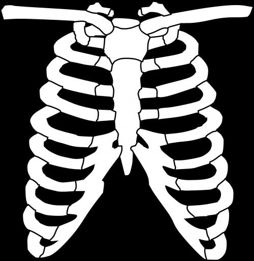 chest ribcage bone