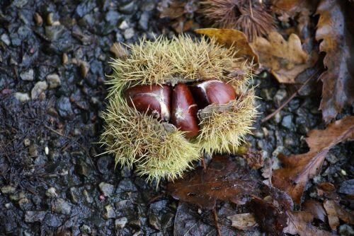 chestnut chestnuts maroni