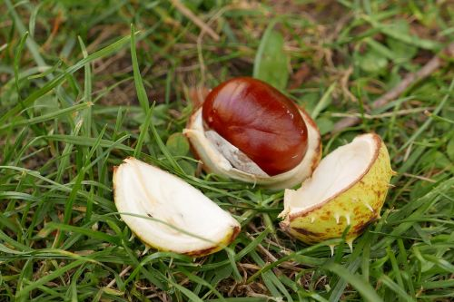 chestnut autumn mature