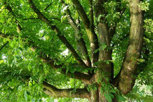 chestnut buckeye tree