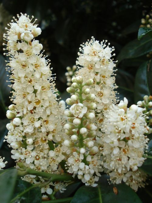 chestnut kastanienbuete white