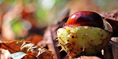 chestnut autumn leaves