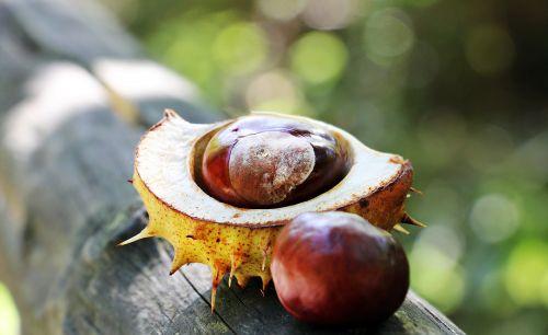 chestnut autumn spur