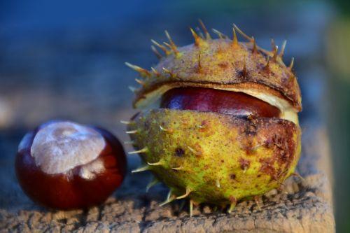 chestnut buckeye ordinary rosskastanie